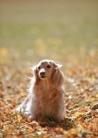 ダックスフンド 犬