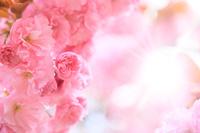 八重桜と光芒