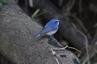 ルリビタキ♂の成鳥
