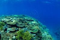 沖縄県 西表島 サンゴ 水中