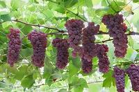山梨県 葡萄 デラウェア