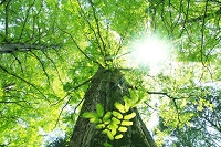 セコイヤの若葉と新緑 太陽