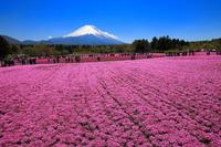 山梨県 富士芝桜まつり 芝桜の花畑と富士山