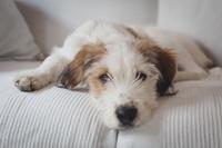 ソファーで寝そべる犬