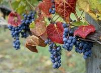 ワイン用の実るブドウ 富良野にて