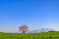 岩手県 雫石町 小岩井農場の一本桜 青空