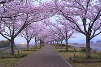 兵庫県 夜明け前のおの桜づつみ回廊の桜並木