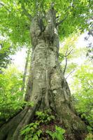 新潟県 新緑のブナ巨樹