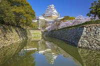 兵庫県 サクラ咲く姫路城