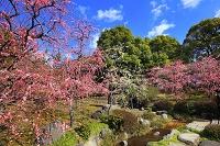 京都府 神苑 春の山の枝垂れ梅