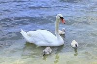 山梨県 山中湖 水草を食べる白鳥の親子