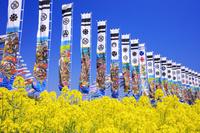 栃木県 大谷の菜の花畑とのぼり 那須高原