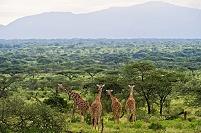 ケニア キリン