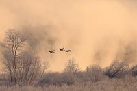 北海道 霧氷とけあらしの中を飛ぶタンチョウ