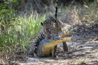 ワニを捕えるジャガー