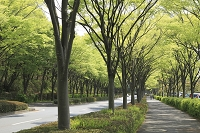 神奈川県 ケヤキ並木