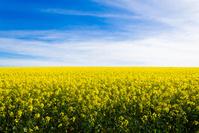 南アフリカ共和国 菜の花畑