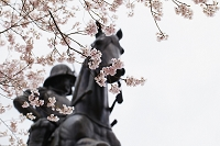 伊達政宗騎馬像と桜 宮城県仙台市