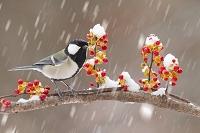 雪日のシジュウカラ