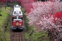 群馬県 わたらせ渓谷鉄道と花桃