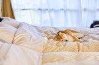旅館のベッドの上でまどろむ豆柴犬