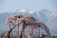 山梨県 桜の八ヶ岳山麓 神田の大糸桜と甲斐駒ヶ岳