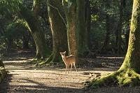 奈良県 奈良市 奈良公園 シカ