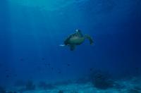 インド洋 マダガスカル タイマイのメス