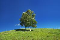 北海道 シラカバの木