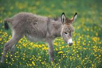 花畑にいるロバの赤ちゃん