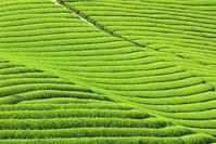 京都府 新緑の茶畑