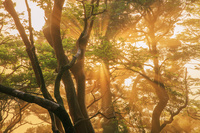 鹿児島県 夕日に染まる光芒と原生林 高塚小屋 屋久島