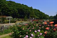 千葉県 市川市 大町自然公園のバラ園