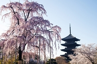 東寺五重塔と枝垂れ桜
