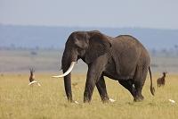 ケニア マサイマラ国立公園 アフリカゾウ