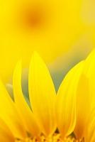 花 ヒマワリ畑
