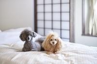旅館のベッドの上でくつろぐトイプードル犬