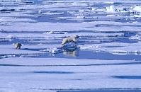 カナダ ヌナブト準州 ホッキョクグマの親子