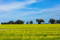オーストラリア パース郊外の菜の花畑