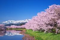新潟県 上越市 桜の高田公園内堀と妙高山、南波山