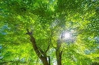 栃木県 新緑のカエデの木と太陽