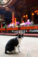 台湾 寺院の黒白ネコ