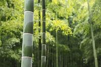 京都府 雨に濡れる洛西の竹林