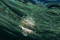 パプアニューギニア ケビエン ウミガメの放流