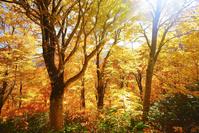 北海道 賀老高原 ブナ林の紅葉と木漏れ日