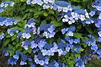 千葉県 アジサイの花