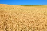 北海道 麦畑