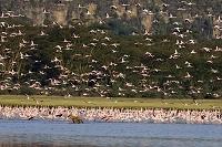 ケニア レイク・ナクル国立公園 フラミンゴの群れ