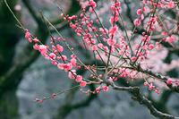 熊本県熊本市 熊本城の梅