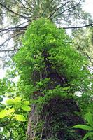 岐阜県 樹と蔦